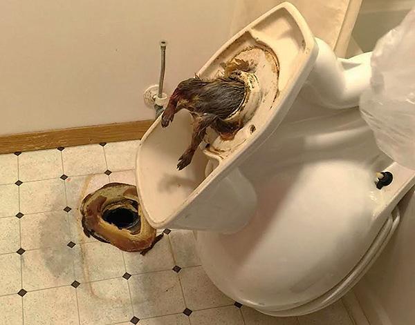 Крыса застряла в отверстии унитаза