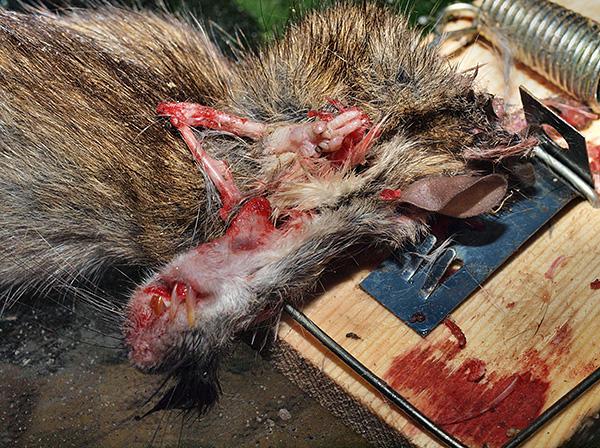 Недостатком типичных мышеловок (и крысоловок) является необходимость контактирования с трупами убитых грызунов.