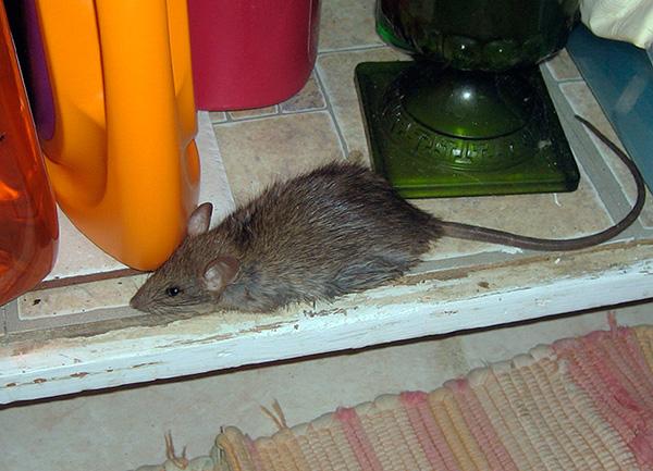 Крысы и мыши боятся громких звуков лишь до тех пор, пока они не становятся для них привычными.