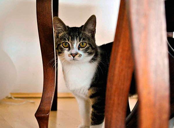 В норме крысы и мыши боятся даже запаха кошки в помещении.