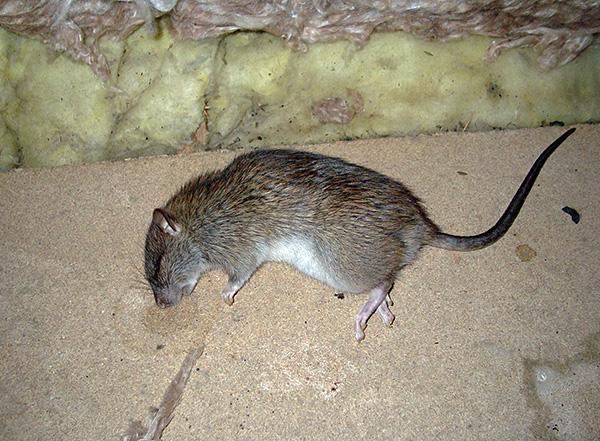 Давайте выясним, чем лучше травить крыс и мышей у себя дома и какие важные моменты следует учитывать при выборе того или иного средства...