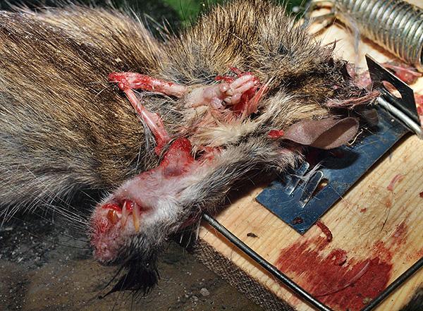 Значительным недостатком капканов является необходимость регулярно извлекать из них мертвых грызунов...
