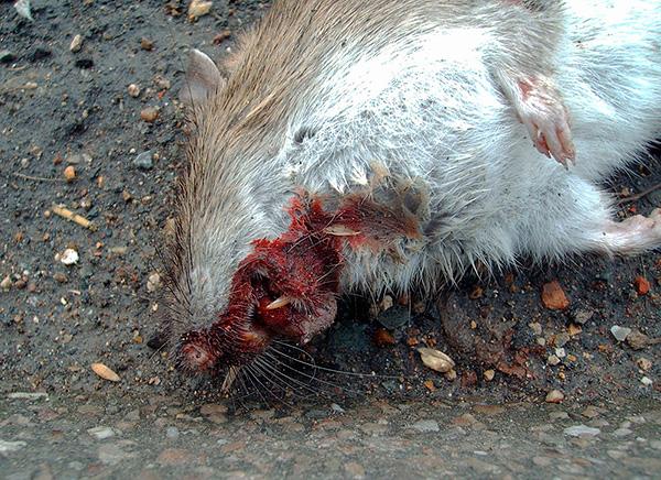 На фото показана крыса, погибшая от внутренних кровоизлияний после отравления.