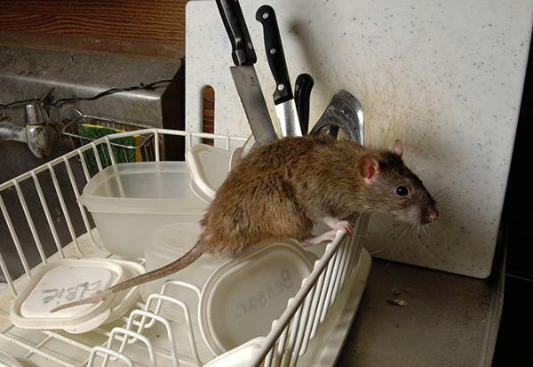 Попробуем разобраться, как правильно выбрать электронный отпугиватель, который бы действительно позволил избавиться от крыс и мышей в доме...