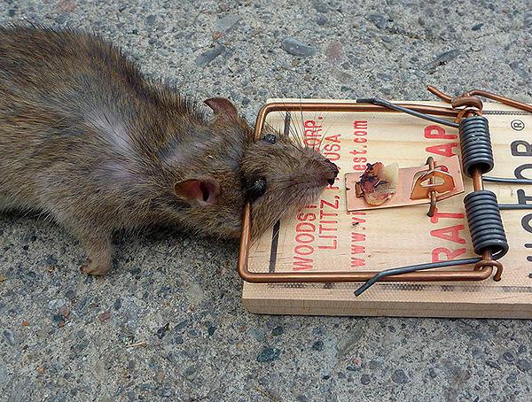 Преимуществом отпугивателей является возможность избавления от грызунов без необходимости их убивать.