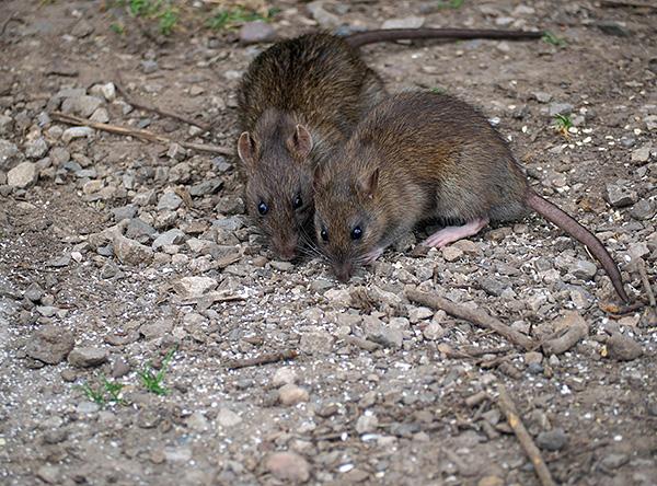 Крысы являются переносчиками сыпного эндемического тифа.