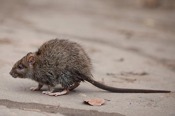 Многие люди инстинктивно боятся крыс, и к тому действительно есть веские причины.