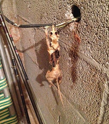 На фото показаны останки крысы, погибшей при перегрызании электропроводки.