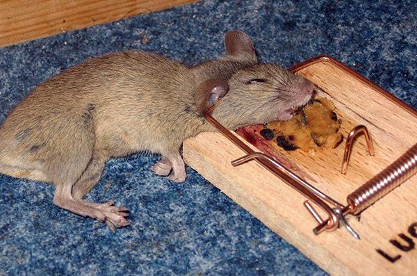 Обычные механические капканы на грызунов являются более опасными в обращении, чем электрические ловушки.