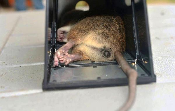 Мертвая крыса в электрической крысоловке.