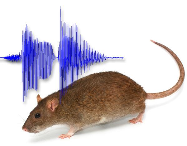 С помощью определенных звуков крыс действительно можно отпугнуть из дома, но как это реализовать на практике?..
