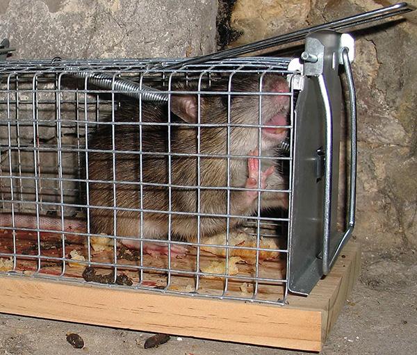 Крысоловка-клетка