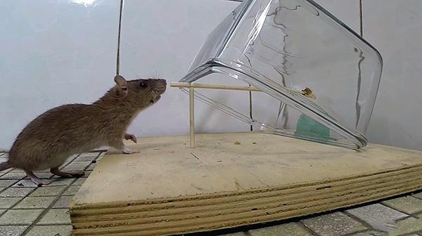 На фотографии показан один из примеров самодельной крысоловки - стеклянная емкость накрывает зверька, когда тот тянет за приманку.