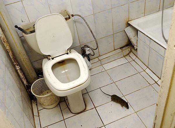 Выясняем, как можно быстро и эффективно поймать даже хитрую крысу в доме...