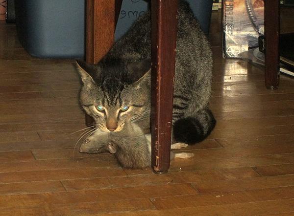 Старый проверенный способ ловли крыс - использование для этой цели кошки или кота.