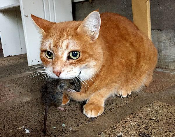 Хорошая кошка-крысоловка может переловить всех грызунов в доме за считанные дни.