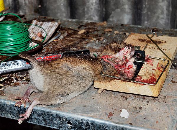 Если крысу такое устройство буквально разрывает, то кошке или собаке крысоловка может запросто сломать лапу.