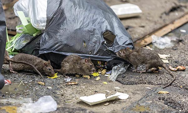 Выясняем, с помощью каких методов и средств можно эффективно бороться с крысами и мышами...