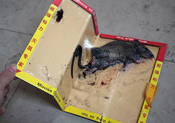 Следует учитывать, что в клеевой ловушке пойманный грызун медленно умирает от жажды.