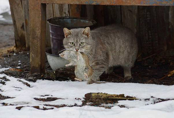 При небольшом количестве крыс на участке одним из лучших вариантов борьбы с ними будет использование кошки-крысоловки.