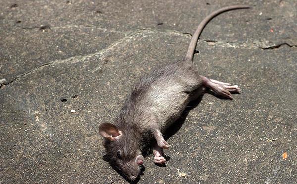 Использование родентицидов позволяет массово уничтожить крыс за короткий промежуток времени.