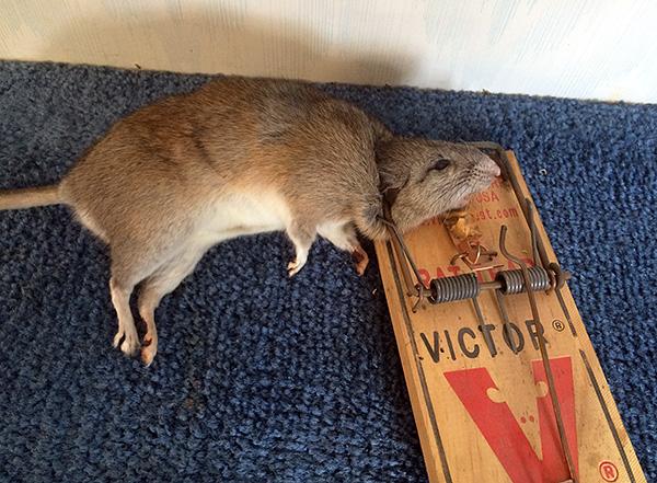 Результат работы крысоловки-давилки